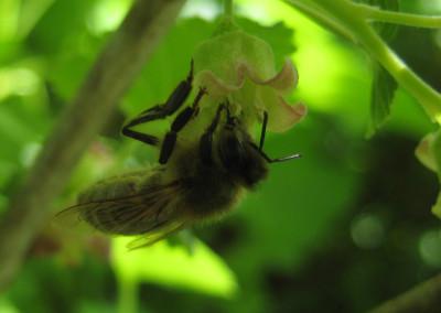 Beecurrant